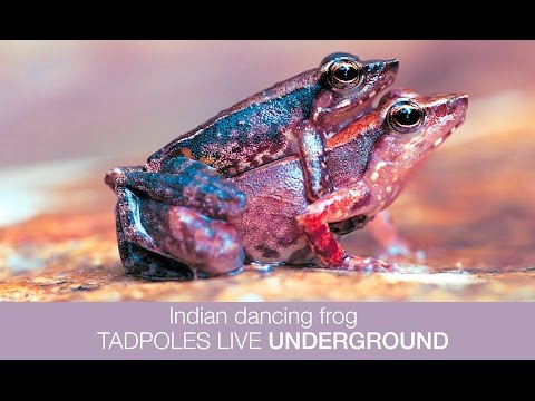 Indian Dancing Frog TADPOLES live UNDERGROUND