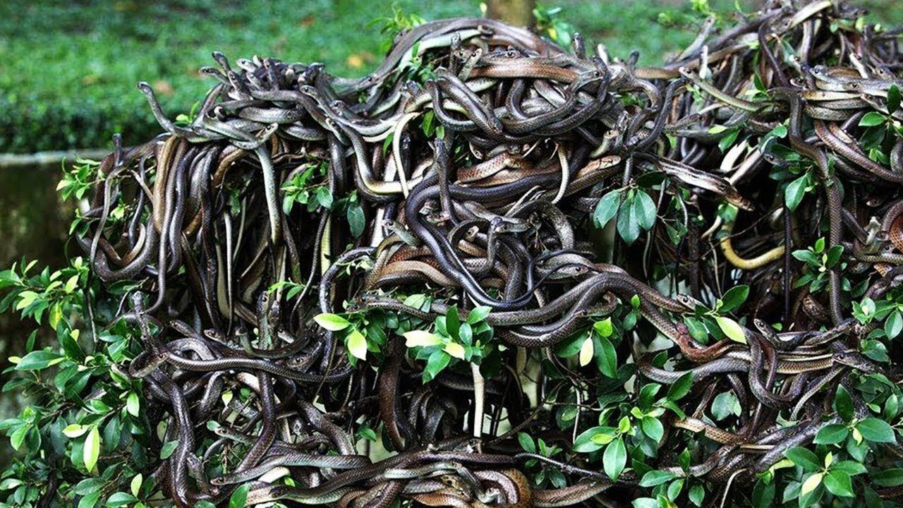 Snake Island - The DEADLIEST Island in the World!