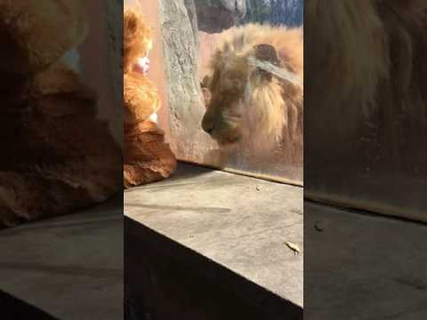 Lion Baby Meets His Namesake