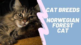 NORWEGIAN FOREST CAT  CAT BREEDS