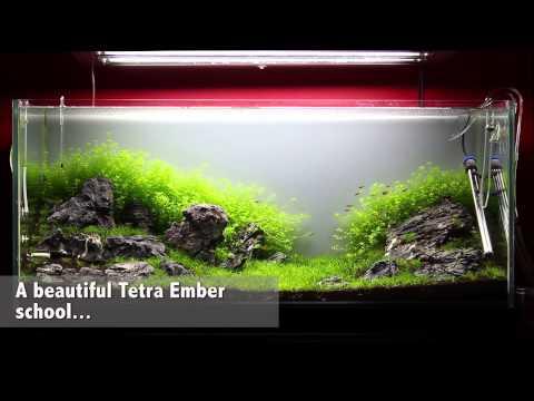 Green&Grey Aquarium - Day 36 - New Fish: 92 Tetra Ember (Hyphessobrycon Amandae)
