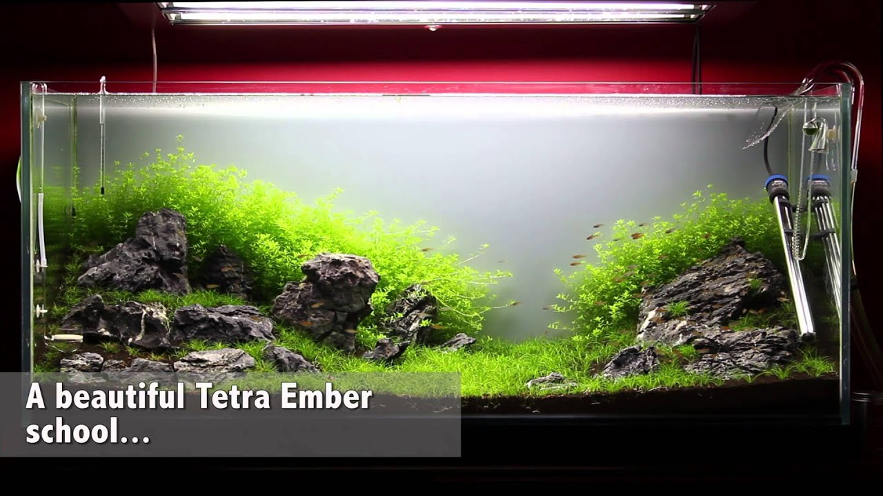 Green&Grey Aquarium - Day 36 - New Fish: 92 Tetra Ember ...
