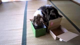 箱大好きの我が家の「とろたん」 いっぱい箱を並べたら...