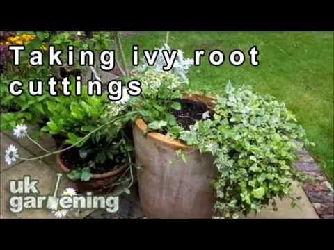 Taking ivy root cuttings