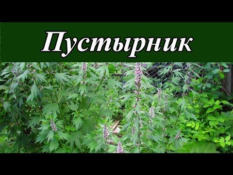 Лекарственные растения - пустырник обыкновенный (пустырник сердечный)