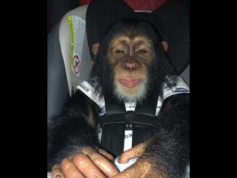 Baby Chimpanzee fighting to stay awake!