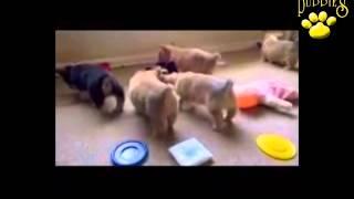 Welsh Corgi Puppies