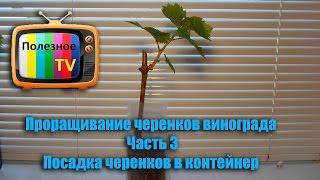 Проращивание черенков винограда Часть 3. Посадка черенков в контейнер (пакет)