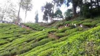 مرتفعات كاميرون مزارع الشاي - Cameron Highland Tea Plantations