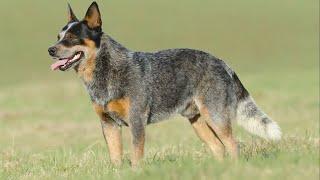 Australian Cattle Dog | Agile Endurance In Red Or Blue