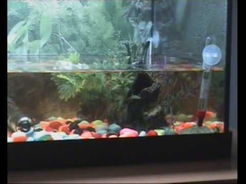 Tortugas acuaticas en acuario de 60 litros youtube for Acuario tortugas