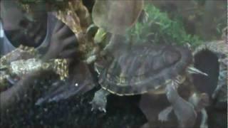 Turtles vs Crawfish 5