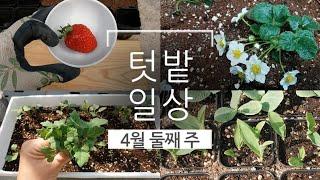 텃밭일상. 천혜향,딸기 심기,비트,케일,옥수수,단호박,…