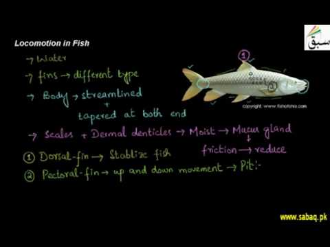 Locomotion In Fish, Biology Lecture | Sabaq.pk |