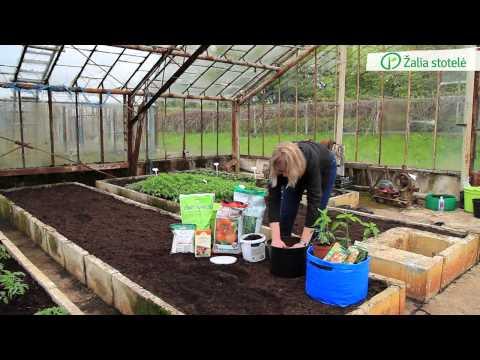 Pomidorų ir paprikų daigų sodinimas į vazonus, maišus ar kitas talpas | Augink lengviau!
