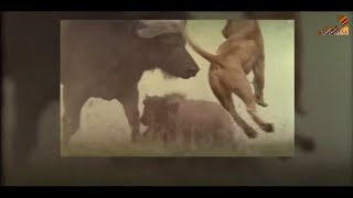 Wild Fauna / Хищники / Неудачи / The Hunting Game / Охотничьи игры