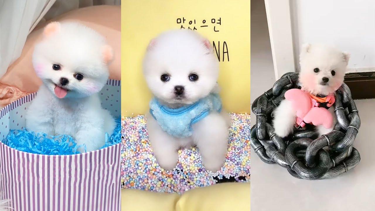 Tik Tok Chó phốc sóc mini Funny and Cute Pomeranian Videos #15
