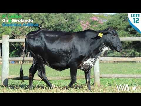 LOTE 12 - 6308 BD - 6º Leilão Gir & Girolando Genética Aditiva