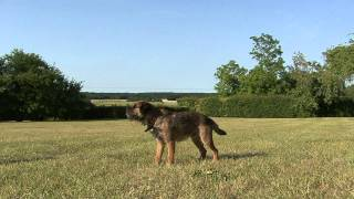 Chewie Le Border Terrier:  L'incroyable Chien Volant / Chewie Border Terrier The Amazing Flying Dog