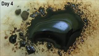Improvement of efficiency of brown coal biosolubilization by novel recombinant Fusarium oxysporum