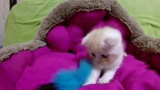 Шотландский котёнок с рыжим окрасом шерсти