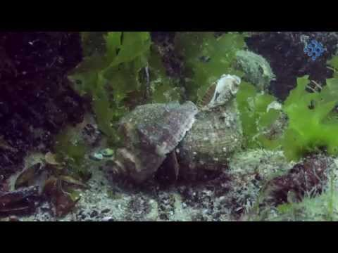 A Story Of An Invasive Alien Species, Rapana Venosa, In The Black Sea