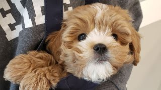 Cute Cavoodle Puppy Video Compilation   2 To 3 Month