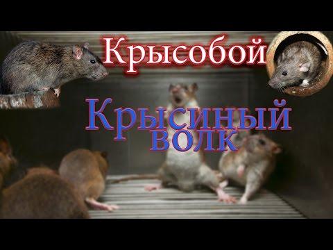 Как вырастить крысоеда