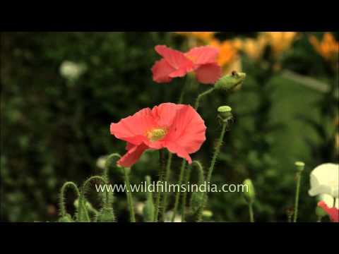 Light Pink Poppy flower
