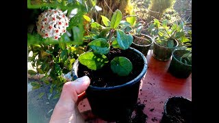 How to grow Hoya houseplant from cutting very easy