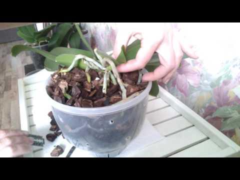 Отделяем детку орхидеи от мамы!