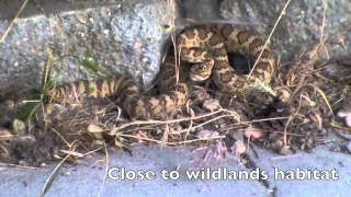Be Rattlesnake Aware, Even In The City