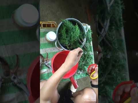 Giâm cành cây Tùng đơn giản
