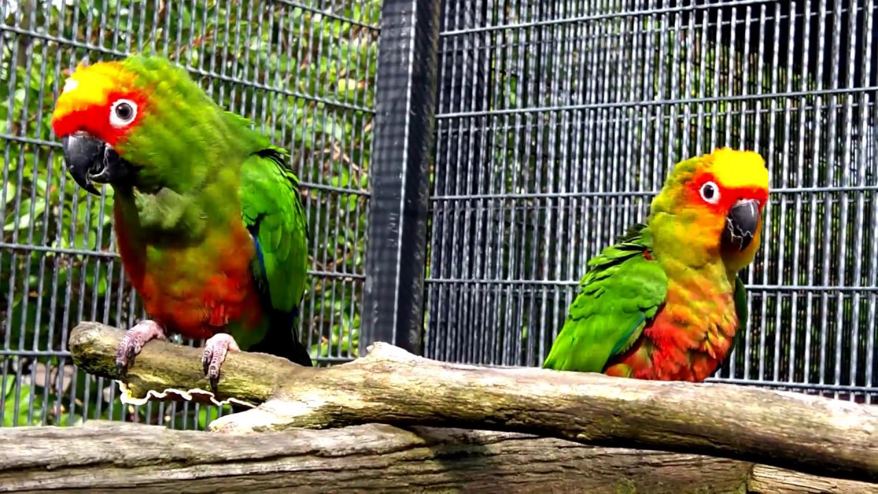 Golden Capped Conures Breeding Pair