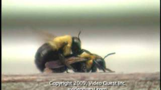 MUST SEE!!! TWO BEES HAVING SEX