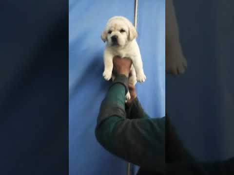9671116765 Labrador puppy at pets company Dehradun Haridwar Shimla kullu manali goa kalka bhopal