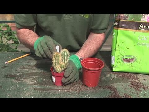 how to grow a cactus plant, Natural flower
