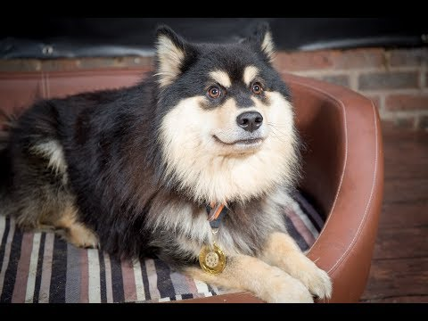 Kissa - Finnish Lapphund - 3.5 Weeks Residential Dog Training