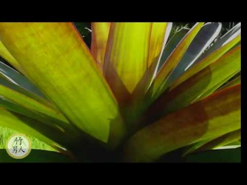 Bromeliad - Aechmea Imperialis Rudra