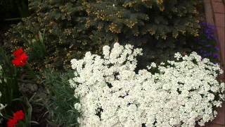 видео Клумба из многолетников своими руками: оформление клумбы многолетними цветами