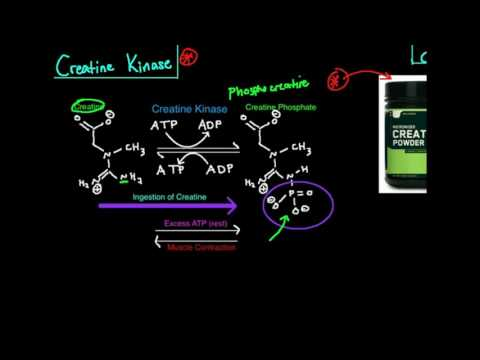 Creatine Kinase/Phosphagen System