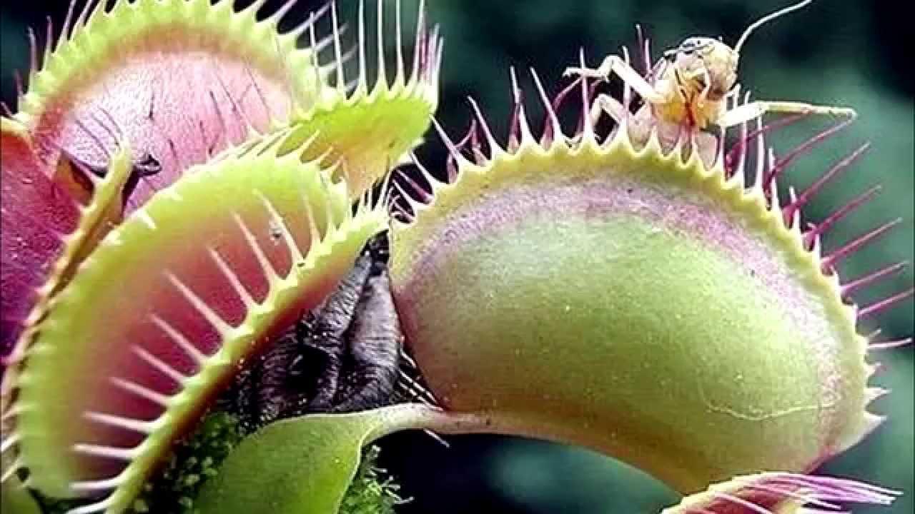Las 5 plantas carn voras m s bellas del mundo youtube for Las plantas mas bonitas