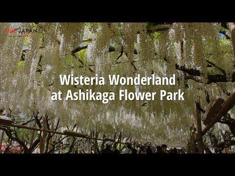 Gorgeous Wisteria at Ashikaga Flower Park! - LIVE JAPAN