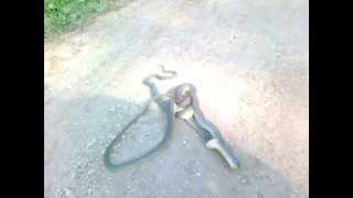 Змея (уж) ест гадюку