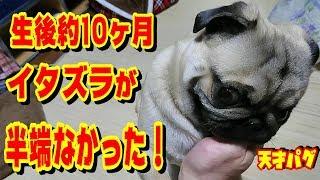 【絶妙なとぼけ方】笑える犬のイタズラ 犬は生後1年の頃が最もヤンチャらしい! うちのパグ『おまめ日記』《ブサかわパグ動画》 thumbnail