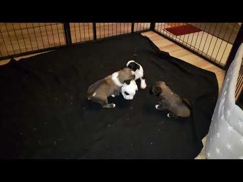 Tibetan Terrier Puppies B litter Vajrapasha