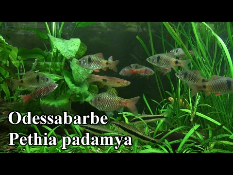 Odessabarbe - Pethia padamya @ZOO Aquarium Thüringer Zoopark Erfurt