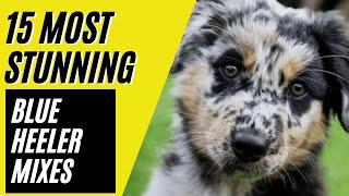 15 Most Amazing Blue Heeler Mixes  Australian Cattle Dog Mixes