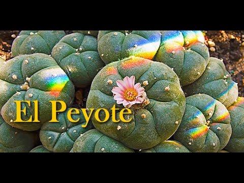 Peyote la mistica planta (Lophophora wiliamsii)