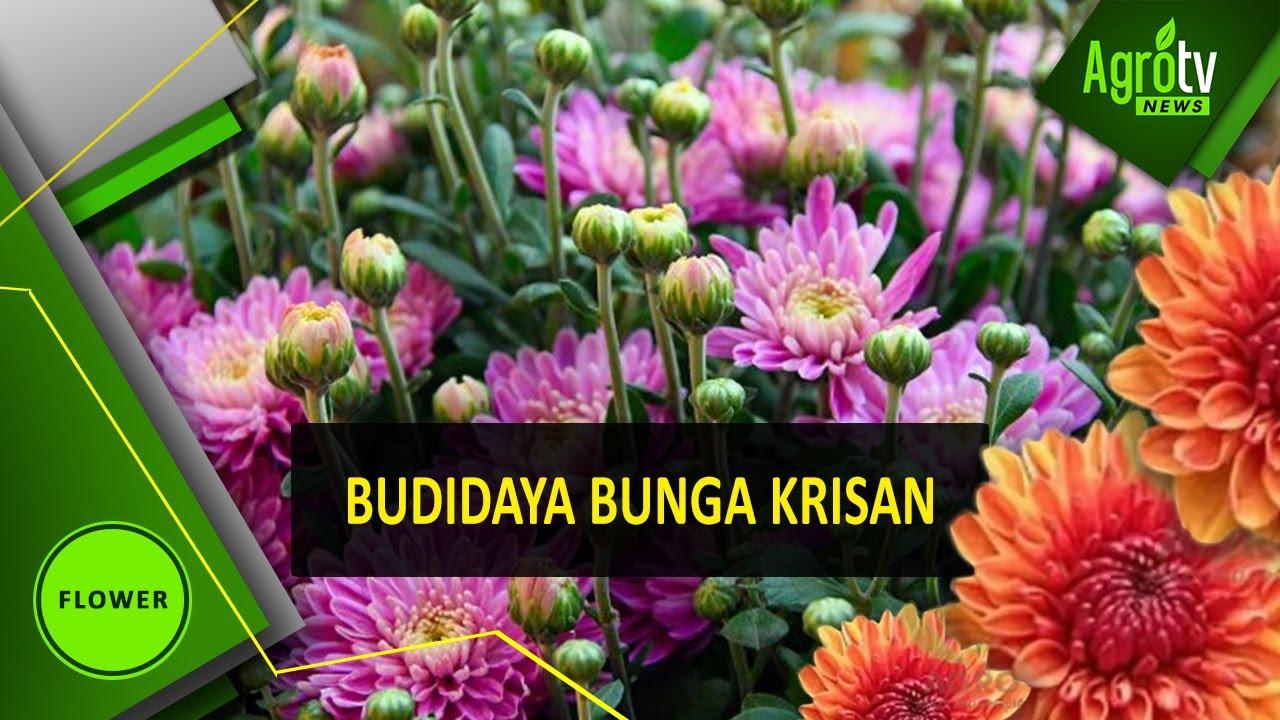 Download 52 Gambar Budidaya Bunga Aster HD Gratid